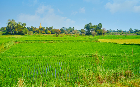 The juicy green paddy-fields are widespread on territory of the ancient city of Ava (Inwa), nowadays looking like the agricultural area with preserved historic landmarks, Myanmar.