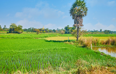 The tall palm tree grows between the paddy-field, meadow and water tank of the agricultural area of Ava (Inwa), Myanmar.