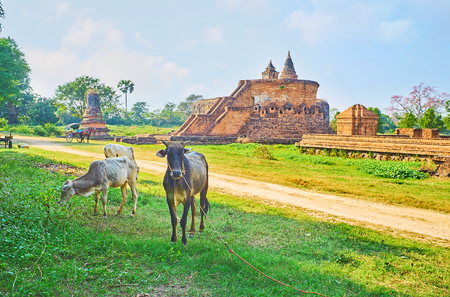 The stunning ancient Buddhist temples of Ava with grazing zebu cows and calfs on the foreground, Myanmar.