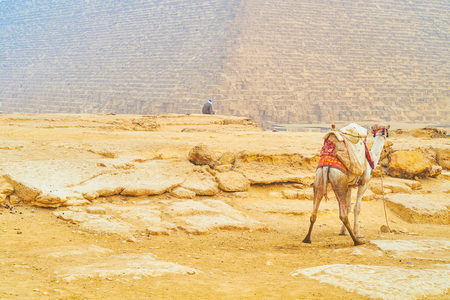 The young camel in traditional bedouin harness, stands next to the pyramid of Giza, Egypt