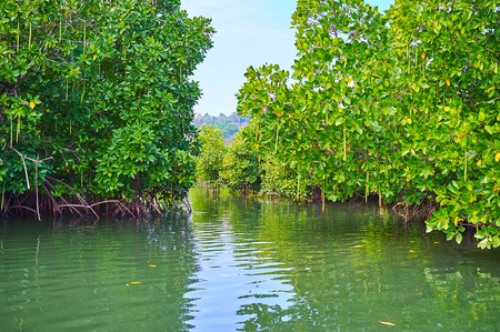 The vast red mangrove forest on Kangy river forms the maze of narrow curved water ways among the tangled prop roots of the lush trees, Chaung Tha, Myanmar.