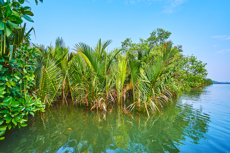 The scenic nipa palms grow among the red mangrove forest on Kangy river and attract the tourists, visiting resorts on Bay of Bengal, Chaung Tha, Myanmar.
