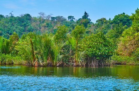 The lush juicy green mangrove forest in saline waters of Kangy river boasts many different species, including nipa palms, red mangroves, kandelia candel shrubs and others, Chaung Tha zone, Myanmar.