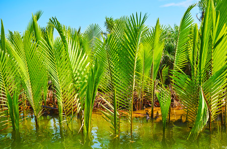 The juicy green young plants of nipa palm, growing in saline waters of Kangy river, Chaung Tha zone, Myanmar.