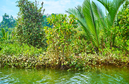 The mangrove forests boast diverse of plants, including squat shrubs, trees and nipa palms, Kangy river, Chaung Tha zone, Myanmar.
