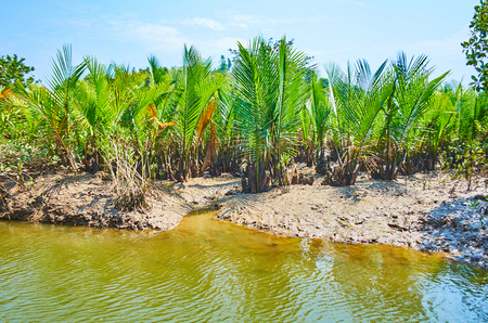 Explore marine alluvium soils of mangroves, growing on Kangy river in Chaung Tha recreational zone, Myanmar.