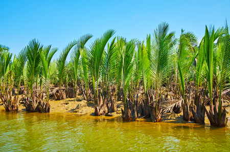 Marine alluvium soil of mangrove forest is seen through the plants of nipa palm on the low tide on Kangy river, Chaung Tha zone, Myanmar.