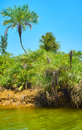 A thin curved palm tree among the mangroves on the bank of Kangy river in Chaung Tha recreational zone, Myanmar.