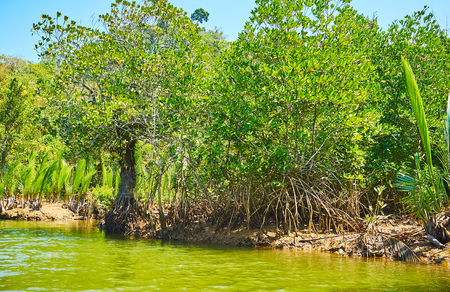 The lush mangrove plants show their prop roots on the low tide on Kangy river, Chaung Tha zone, Myanmar.