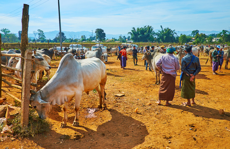 HEHO, MYANMAR - FEBRUARY 19, 2018: The Heho cattle market is popular tourist attraction, here local farmers offer zebu cows buffalos and calfs for sale, on February 19 in Heho.