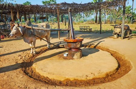 Watch traditional peanut oil processing in farmland of Bagan: the zebu bull pulls primitive wooden oil mill to grind peanuts and squeeze oil, Myanmar 版權商用圖片