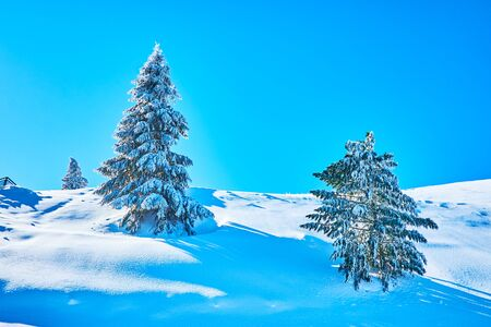 The deep snowdrifts surround the spruce trees, coated with glaze ice and hoarfrost, weighing down their branches with heavy load, Zwolferhorn, St Gilden, Salzkammergut, Austria