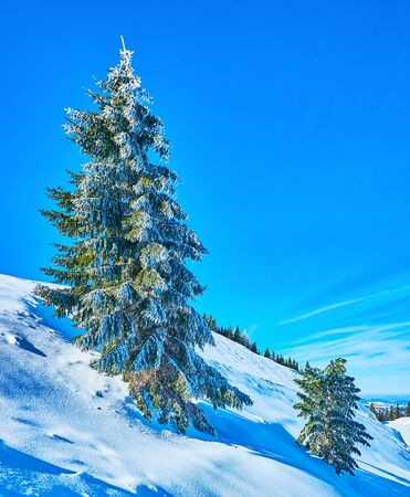 The steep Zwolferhorn mountain slope with pure white snow and tall spruce tree, covered with adhering ice and hoarfrost, St Gilden, Salzkammergut, Austria