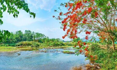 The lush forest by the fast flowing Pai river with blooming flame tree branch and buffalos, grazing on the opposite bank, Thailand Stockfoto - 130155107