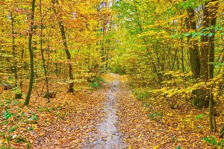 The autumn forest scene with narrow footpath amid the dense trees, Kiev, Ukraine 写真素材