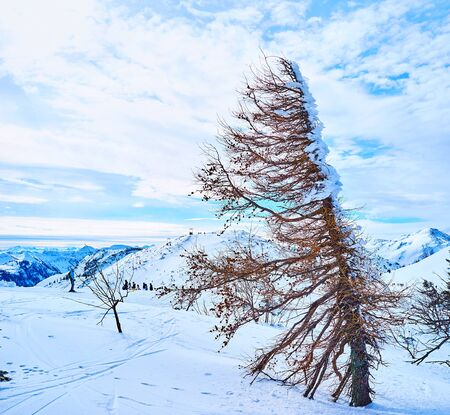 The snowy vastness of Feuerkogel Mountain plateau with old dry shaped by wind spruce tree on the foreground, Ebensee, Salzkammergut, Austria Imagens