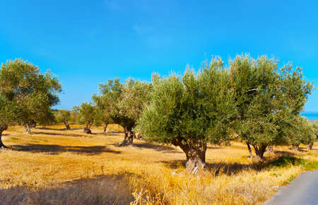 The dried soils of Crete with yellow grasses and bright green olive trees, Greece