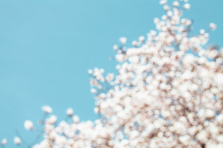 blured: Blured white Magnolia flowers, blue sky background. Stock Photo