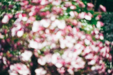 magnolia tree: Spring magnolia tree flowers bokeh, flower background