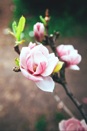 Beautiful pink magnolia blossoms in the spring