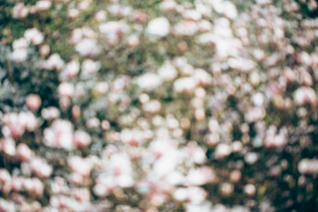 flowers bokeh: Spring magnolia tree flowers bokeh, flower background