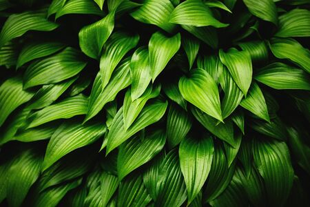 background  grass: Green leaves background. Grass and dew abstract background. Stock Photo