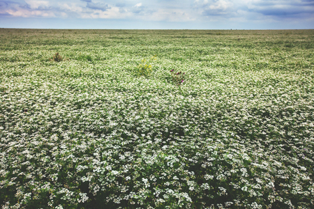flowers field: Beautiful blooming buckwheat field with cloudy sky Stock Photo