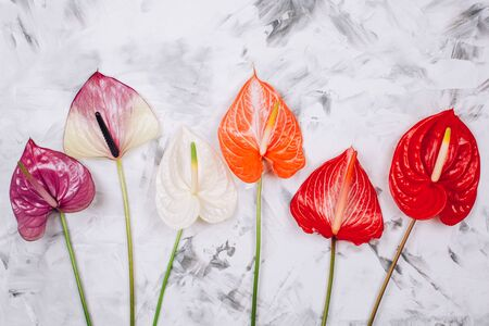 Assorted colorful beautiful natural anthurium flowers on textured concrete background. Top view.