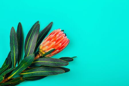 Pink tropical protea flower with green leaves on blue pastel background. Place for text.