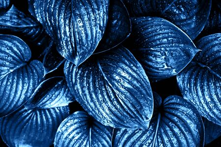 Blue leaves with rain drops. Color of the year 2020 concept.