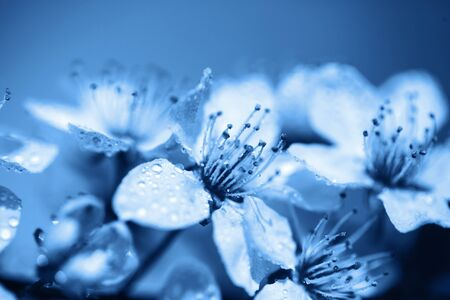 Beautiful fresh and young flowers of cherry in dew drops over blue sky. Toned in blue color