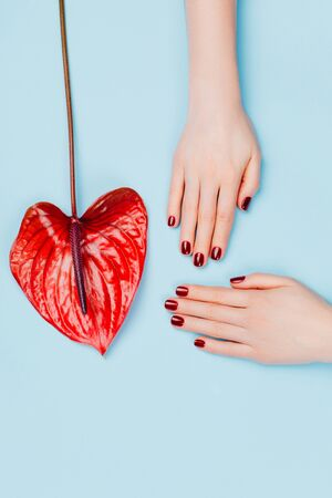 Red manicure and flower - Anthurium bordo on blue background. Concept of stylish manicure. Flat lay style.