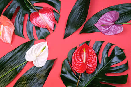 Mix of tropical leaves with colorful anthurium flowers on trendy coral background. Summer concept.