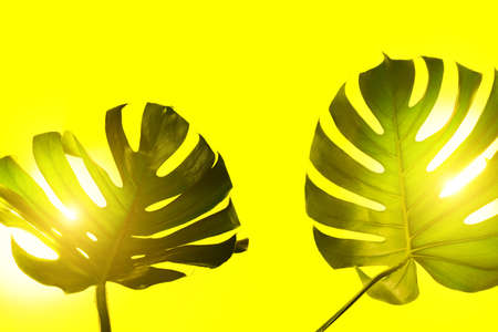 Two green monstera leaves on yellow background with illuminating backlight. Summer and tropical concept. 免版税图像