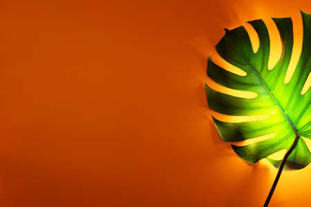 Green monstera leaf on orange background with special neon yellow backlight. Creative backdrop for your design. 免版税图像