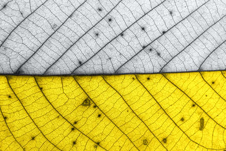 Demonstrating trendy colors of year 2021 - Gray and Yellow. Texture of autumn old leaf in trendy colors leaf with brown spots. Macro.