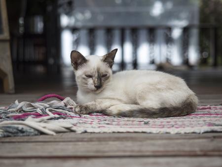 koh tao: Thai cat at home  Koh tao , Thailand