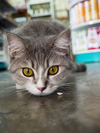 koh tao: thai cat at mini store  Koh tao , Thailand