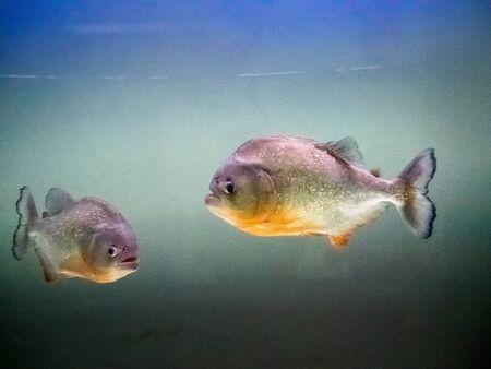 pygocentrus: Bangkok Thailand  Oct 23  2014 : two piranha deep blue background