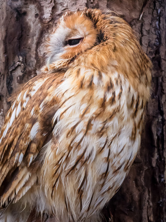 tawny owl:  tawny owl brown colour at owls forest zoo. A natural landmark located at the end of the town.