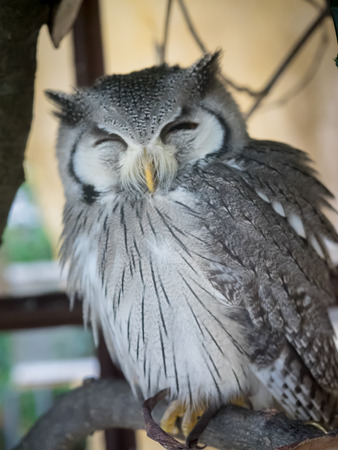 natural landmark:  White faced owl smile at owls forest zoo. A natural landmark located at the end of the town. Stock Photo