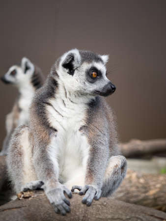 omnivore animal: Ringtailed lemur They are highly social living in large groups lead by a dominant female. Conservation status Endangered Stock Photo
