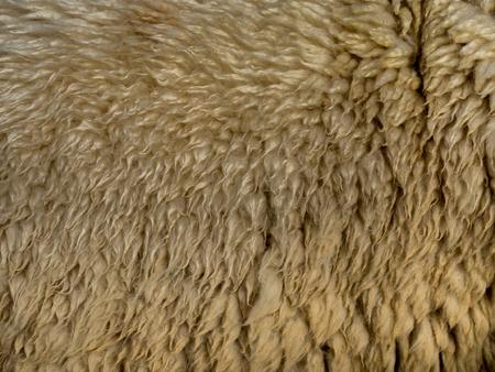 sheep wool: Sasebo japan  Apr 9 2015 : raw sheep wool background Stock Photo