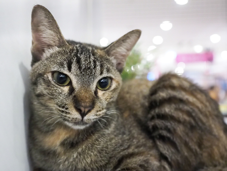 Bangkok, Thailand - November 22, 2015 : unidentified cat inside cage find a new home in 1st TICA Thailand Cat Show at Secon Square department store TICA : The International Cat Association