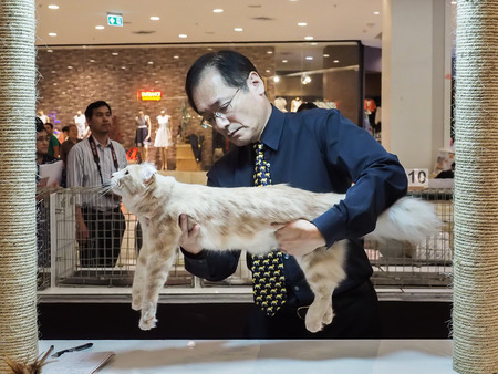 Bangkok, Thailand - November 22, 2015 : Japaness referee from tica chack a cat in 1st TICA Thailand Cat Show at Secon Square department store TICA : The International Cat Association Editorial