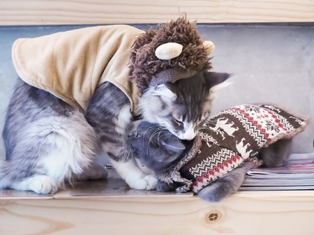 russian blue: Pattaya, Thailand - December 31, 2015 :maine coon cat and russian blue cat in dress Stock Photo