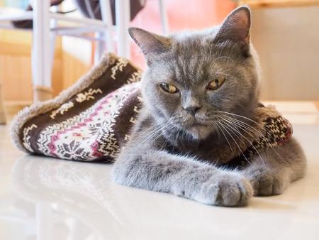 squint: Pattaya, Thailand - December 31, 2015 : Russian blue cat squint lay down on floor