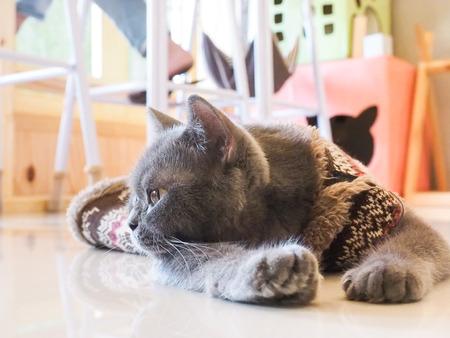 december 31: Pattaya, Thailand - December 31, 2015 : Russian blue cat thinking on floor Stock Photo
