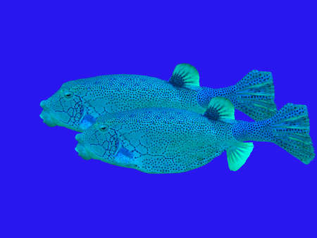 boxfish: Boxfish