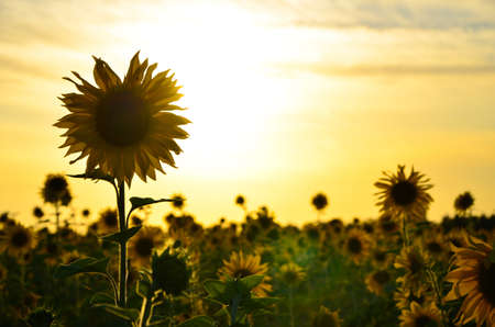 pollinate: a large field with a blossoming sunflower . bumblebees fly and pollinate the flowers . The sky is blue. Summer is in full swing